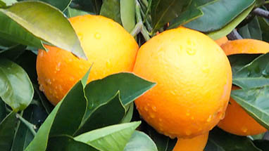 Citrus fruit - Sour Flavors for Sicilian Cuisine