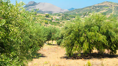 Olive Oil - The Symbol of Mediterranean Cooking
